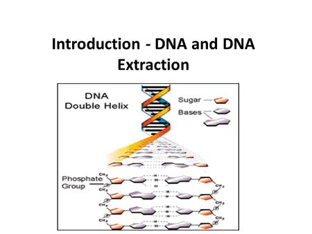 DNA Extraction from …. Is DNA in My Food??? DNA is present