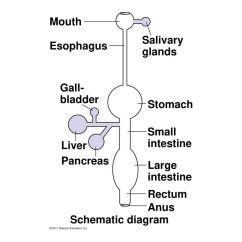 Anatomy Digestive Diagram Salivary Glands Venn Sorting Games Chapter 41 Animal Nutrition Ppt Video Online Download
