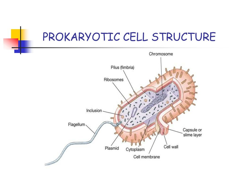 prokaryotic cell diagram 2008 lancer radio wiring a discussion about observing bacteria ppt download