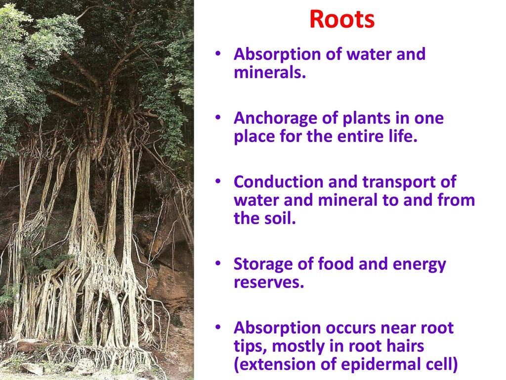 plant root hair diagram 2004 ford explorer parts learning outcomes know the different of a