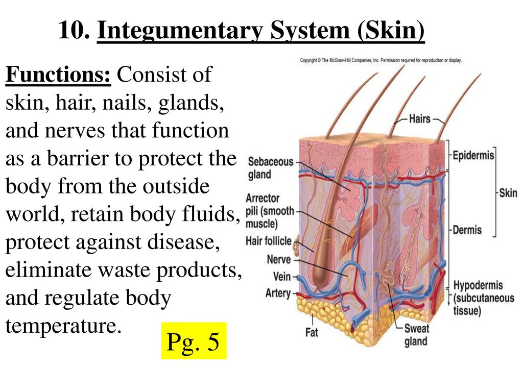 Hair And Nails System Organs Functions