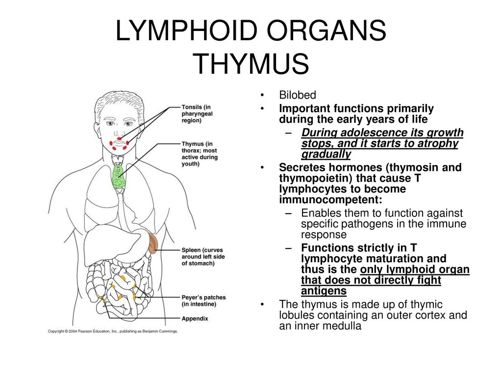 The Lymphatic System Consists Of Two Semi Independent