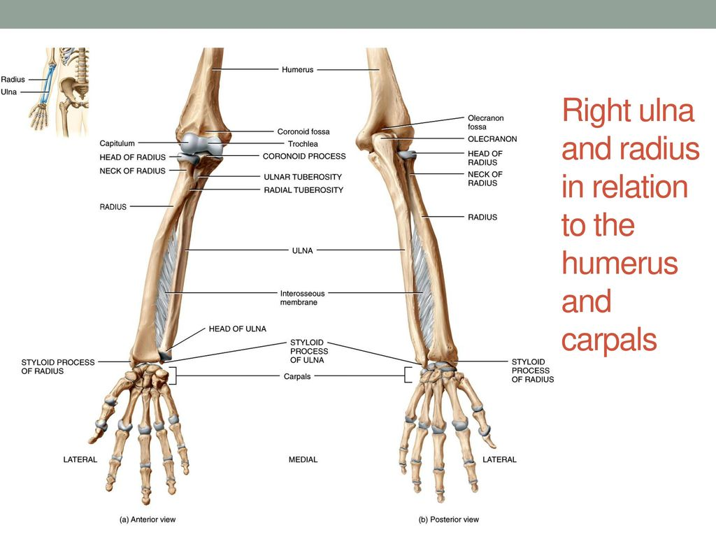 Fancy Radius Ulna Composition - Physiology Of Human Body Images ...