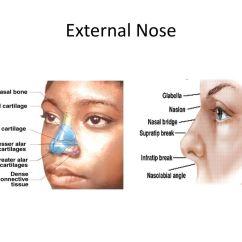 Parts Of The Nose Diagram Clipsal Rcbo Wiring Ungewöhnlich Nasal Anatomy External Fotos Menschliche