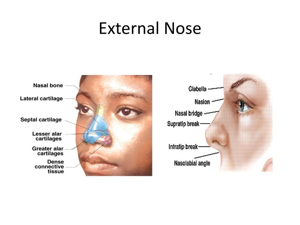 parts of the nose diagram antenna rotor wiring ungewöhnlich nasal anatomy external fotos menschliche