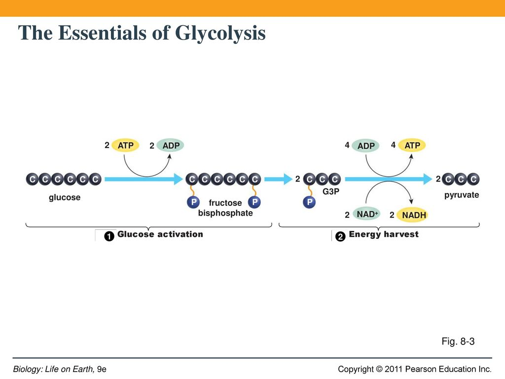 stages of glycolysis and fermentation diagram 1998 toyota 4runner wiring harvesting energy cellular respiration