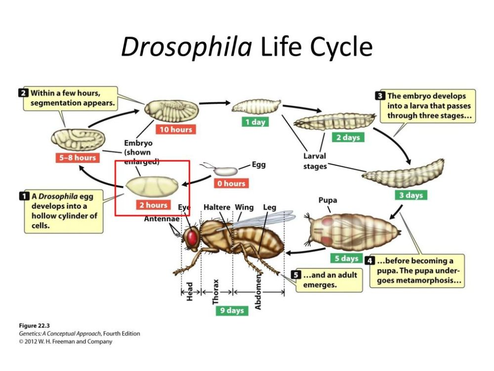medium resolution of descriptive diagram of drosophila life cycle diagram of the carbon cycle gene expression patterns in drosophila