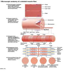 Muscle Fiber Diagram Truck Radio Wiring Chapter Opener 9  2013 Pearson Education Inc Ppt