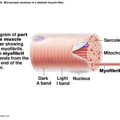 Muscle Fiber Diagram 1996 Chevy S10 Wiring Chapter Opener 9  2013 Pearson Education Inc Ppt