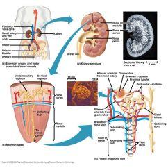 Excretory System Diagram Basic Names Of Bones In Human Skeleton Osmoregulation And Excretion Ppt Download