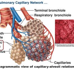 Lung Alveoli Diagram Single Phase To 3 Motor Wiring Ch 22 The Respiration System Ppt Download