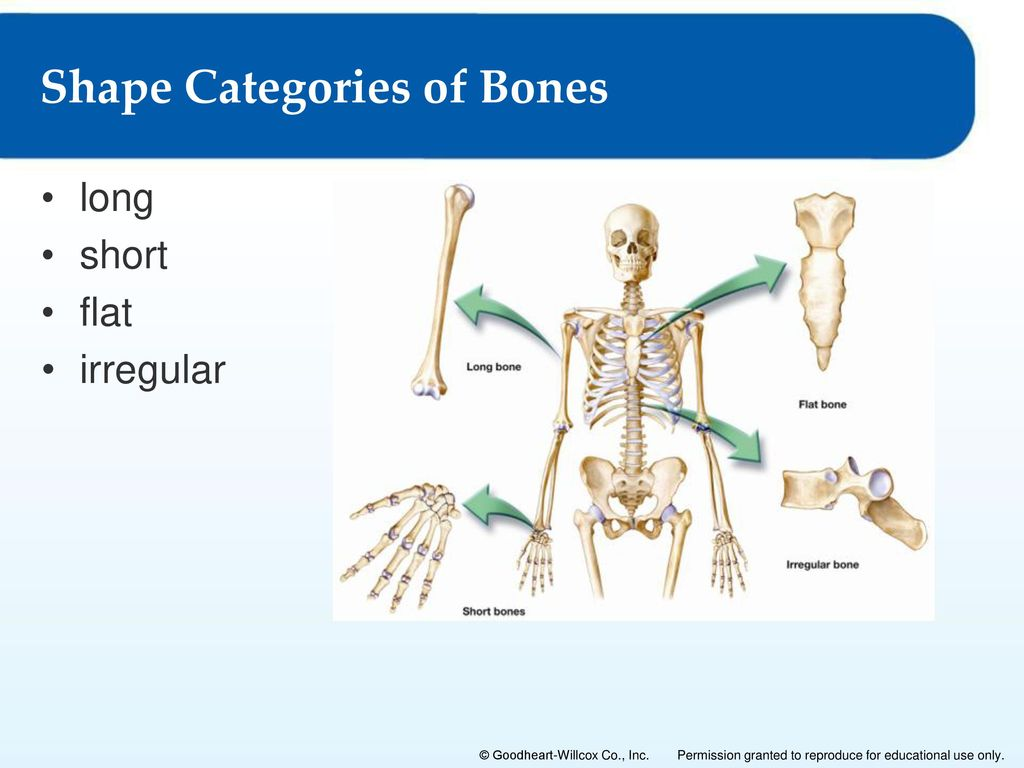 The Skeletal System 4 Lesson 4 1 Bone As A Living Tissue Lesson 4 2 The Axial Skeleton Lesson