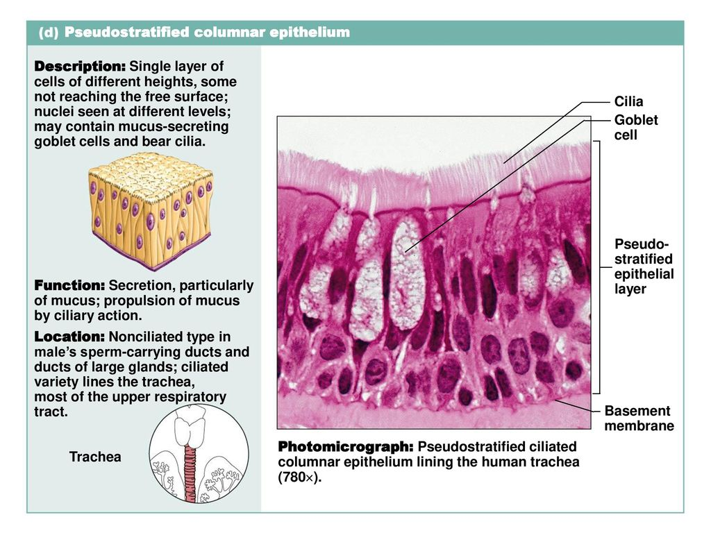 stratified columnar epithelium diagram 1999 ford f150 engine 4 tissues ppt download