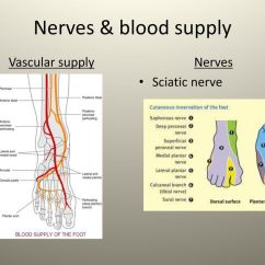 Diagram Of Sciatic Nerve Leg Asco 917 Wiring Ankle  Anatomy Soft Tissue Injuries And Fractures Ppt