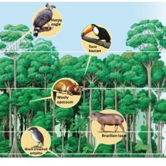Deciduous Forest Layers Diagram Raccoon Skeleton Chapter 7 Review Of Biomes Ppt Download