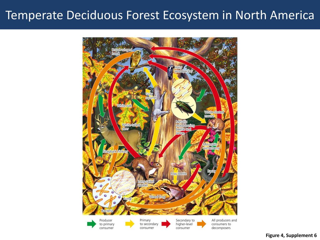 deciduous forest layers diagram how to draw system architecture chapter 7 review of biomes ppt download