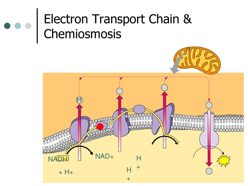 electron transport chain diagram for dummies siemens g120 vfd wiring cellular respiration krebs cycle and etc ppt download