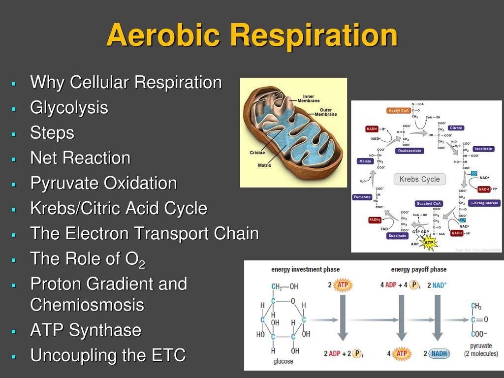 sentence diagramming generator origami flower diagram cellular respiration glycolysis citric acid