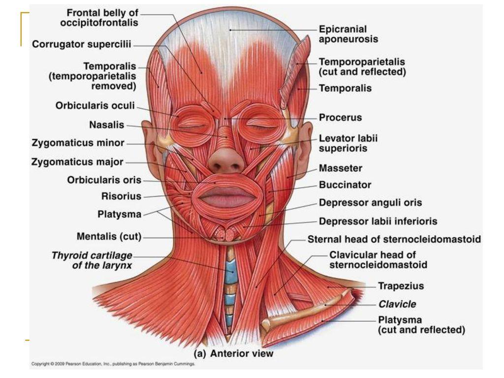 face muscles diagram mvc struts architecture head , neck, shoulder, & back - ppt download