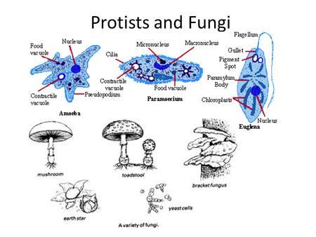 amoeba cell diagram tekonsha voyager brake controller wiring protists & fungi. - ppt video online download