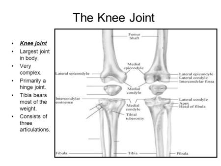The Knee (Tibiofemoral) Joint BY: JACKIE, STACEY, GABE