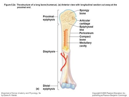 chicken skeleton diagram basic ignition system wiring the structure of a long bone (humerus) - ppt video online download