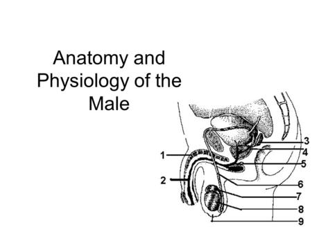 Anatomy of the Male Reproductive System. Internal and