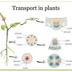 Leaf Epidermis Diagram Wiring For Lights With Two Switches Transport In Flowering Plants - Ppt Video Online Download