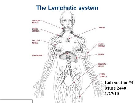the lymphatic system consists of The lymph conducting