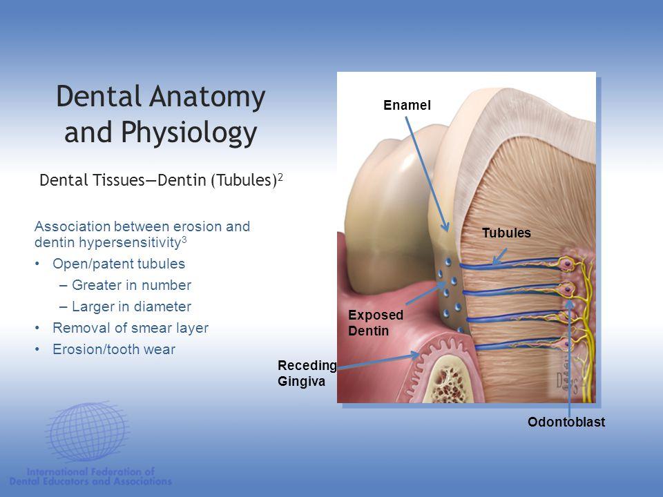 Incisor Tooth Anatomy - Idee per la decorazione di interni - coremc us