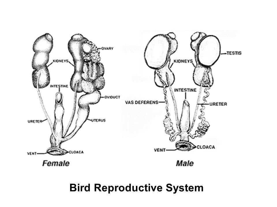 Bird Reproductive System