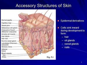 Chapter 5 The Integumentary System  ppt video online download