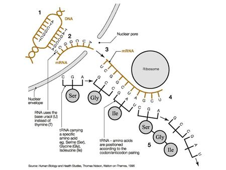 RNA and Protein Synthesis DNA, RNA, Protein Synthesis