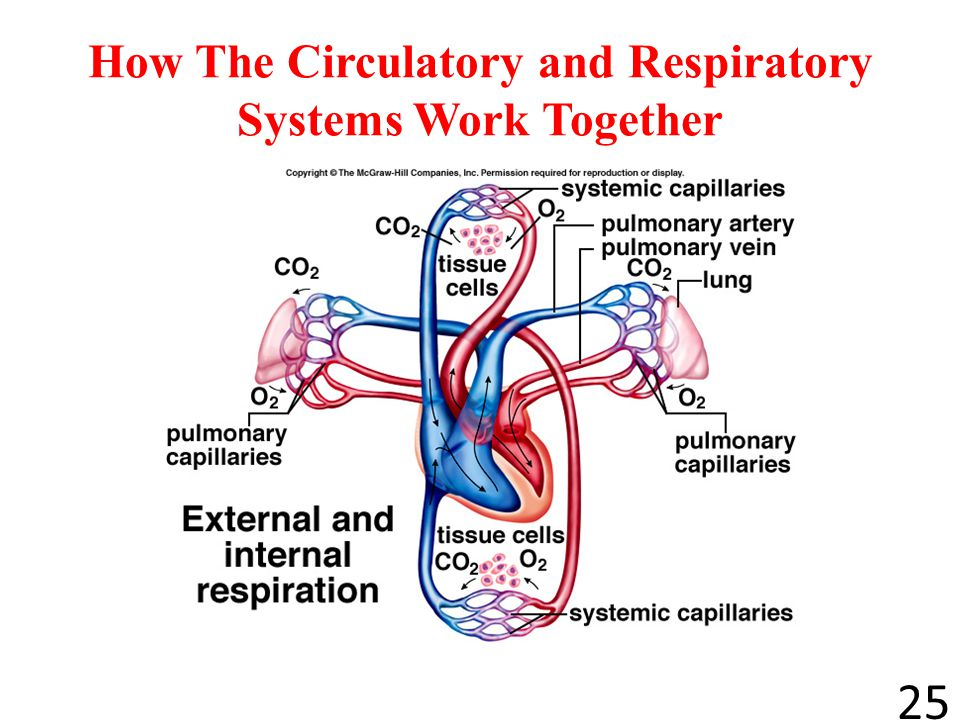 Respiratory System And Circulatory System Work Together