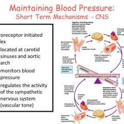 Sympathetic And Parasympathetic Diagram Kenwood Kdc Mp242 Wiring 2 Regulation Of Blood Pressure - Ppt Download