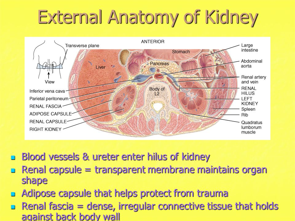 Between Kidneys Organ