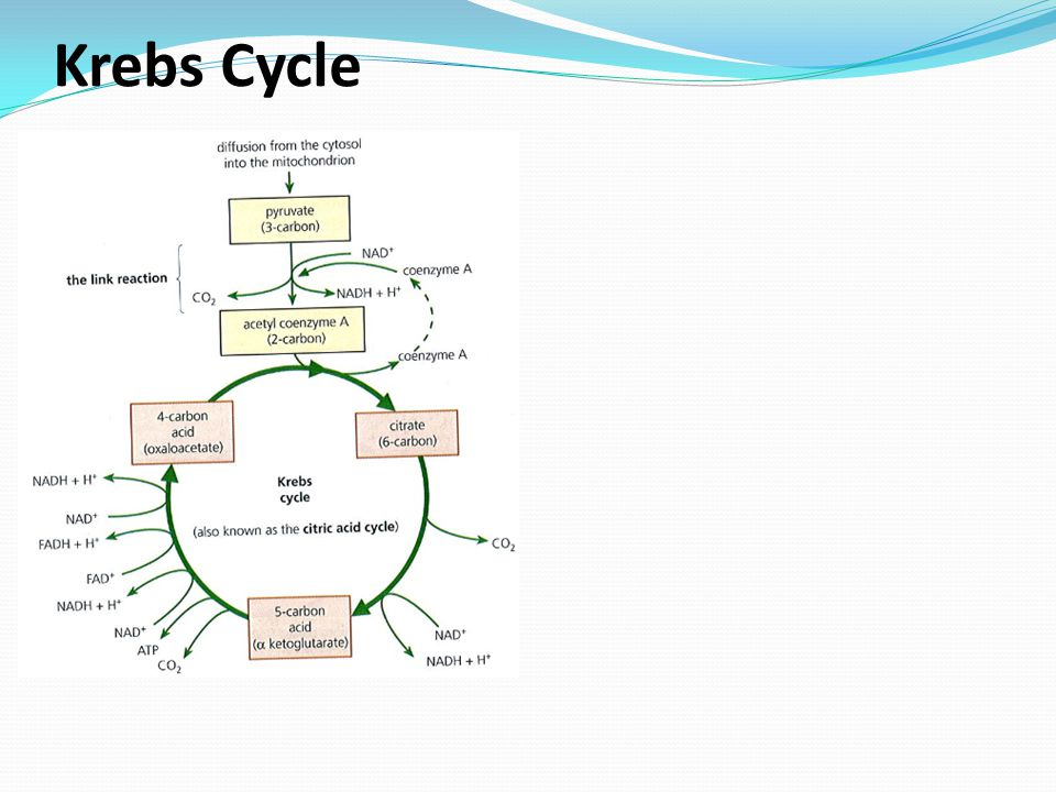 explain krebs cycle with diagram single phase 220 volt wiring cellular respiration pp ppt video online download