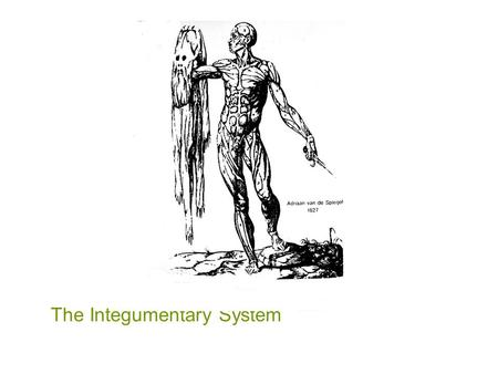 The Integumentary System Skin = Integument = Cutaneous