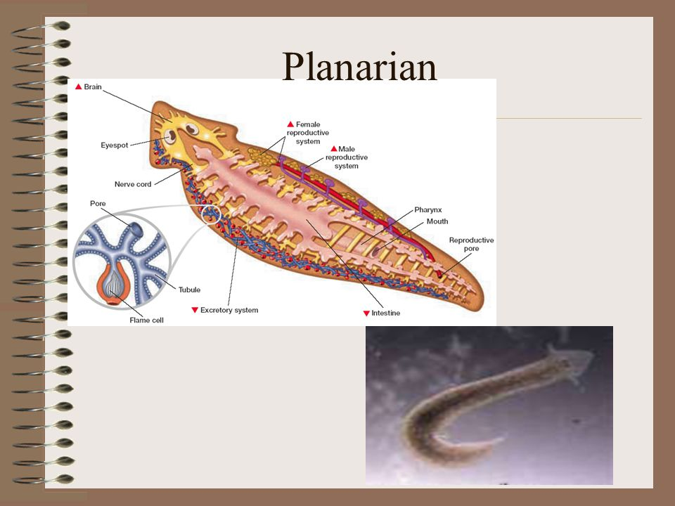 Unit 4  Phylums Platyhelminthes and Nematoda  ppt download
