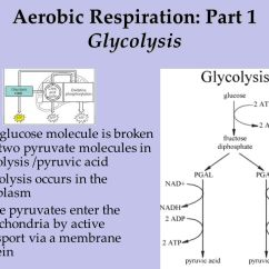 Explain Krebs Cycle With Diagram Ritetemp Thermostat Wiring Ib Biology 3.7 Cell Respiration. - Ppt Download