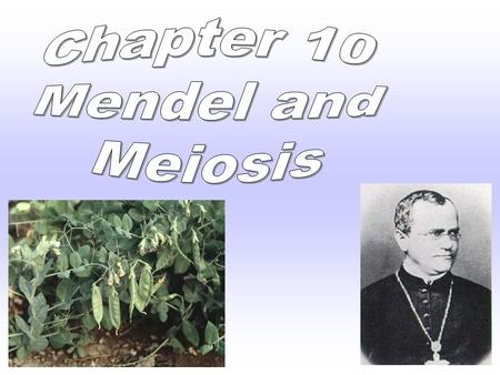 Chapter 10 Father Of Genetics  The Branch Of Biology That Studies Heredity Mendel Did His