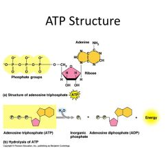 Photosynthesis And Cellular Respiration Diagram Tiger Shark Chapter 9: - Ppt Video Online Download