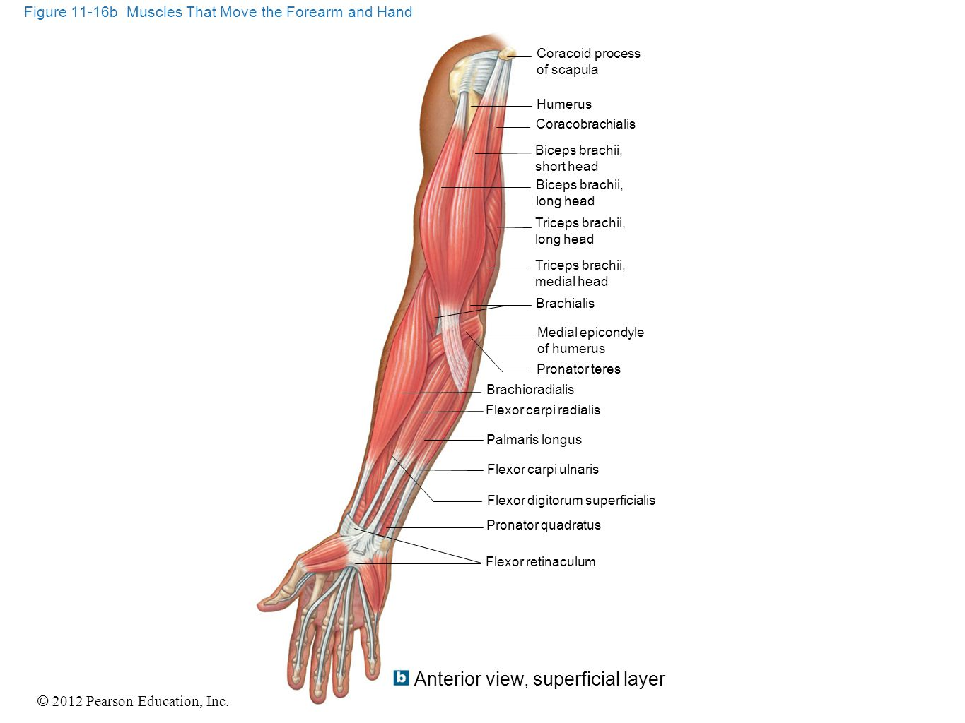 Superficial Forearm Muscles Posterior View Hand
