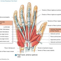 Palmar Hand Muscle Anatomy Diagram Chrysler Voyager Wiring Diagrams Myology Part Ppt Video Online Download