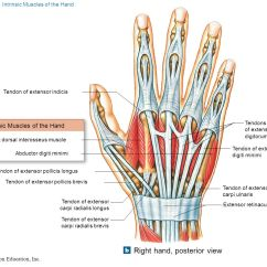 Muscle Diagram Anterior Hand Casablanca Inteli Touch Fan Wiring Myology Part Ppt Video Online Download