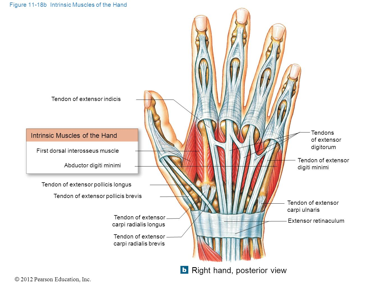 muscle diagram anterior hand emg hz pickup wiring myology part ppt video online download