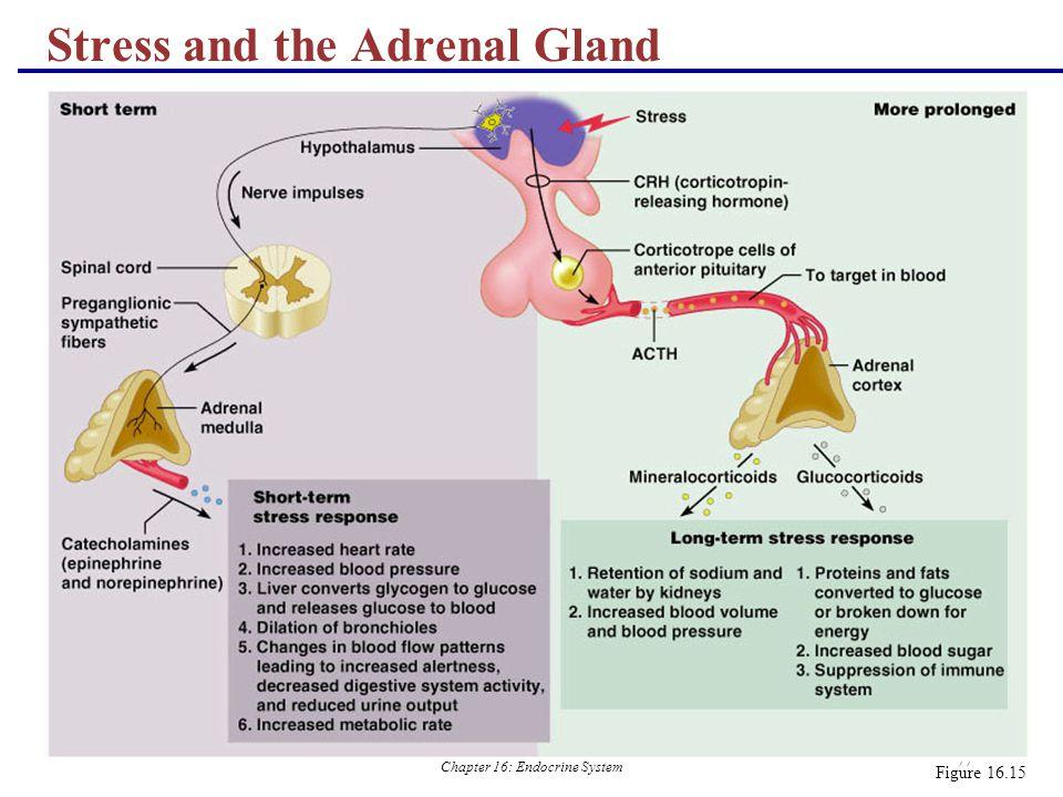 Islets Pancreas Cells Alpha Beta Langerhans Cells Acinar And Cells Slide