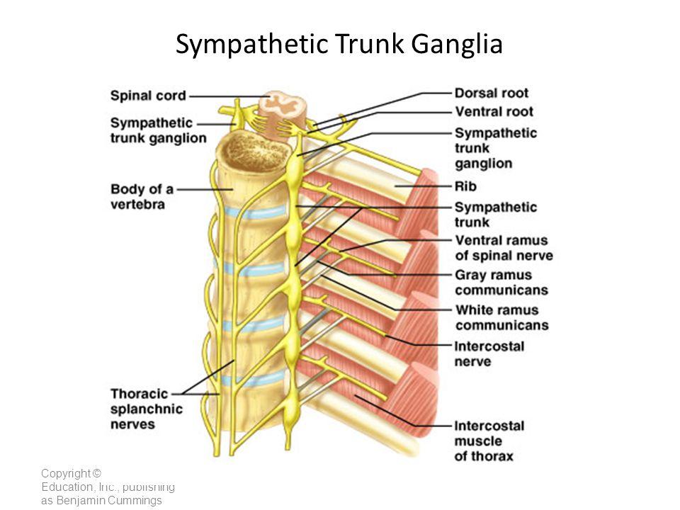 Lumbar Spinal Nerve Pathways