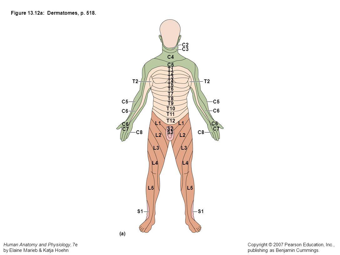 l4 nerve pain diagram 2005 chevy silverado parts t11 dermatome related keywords long tail