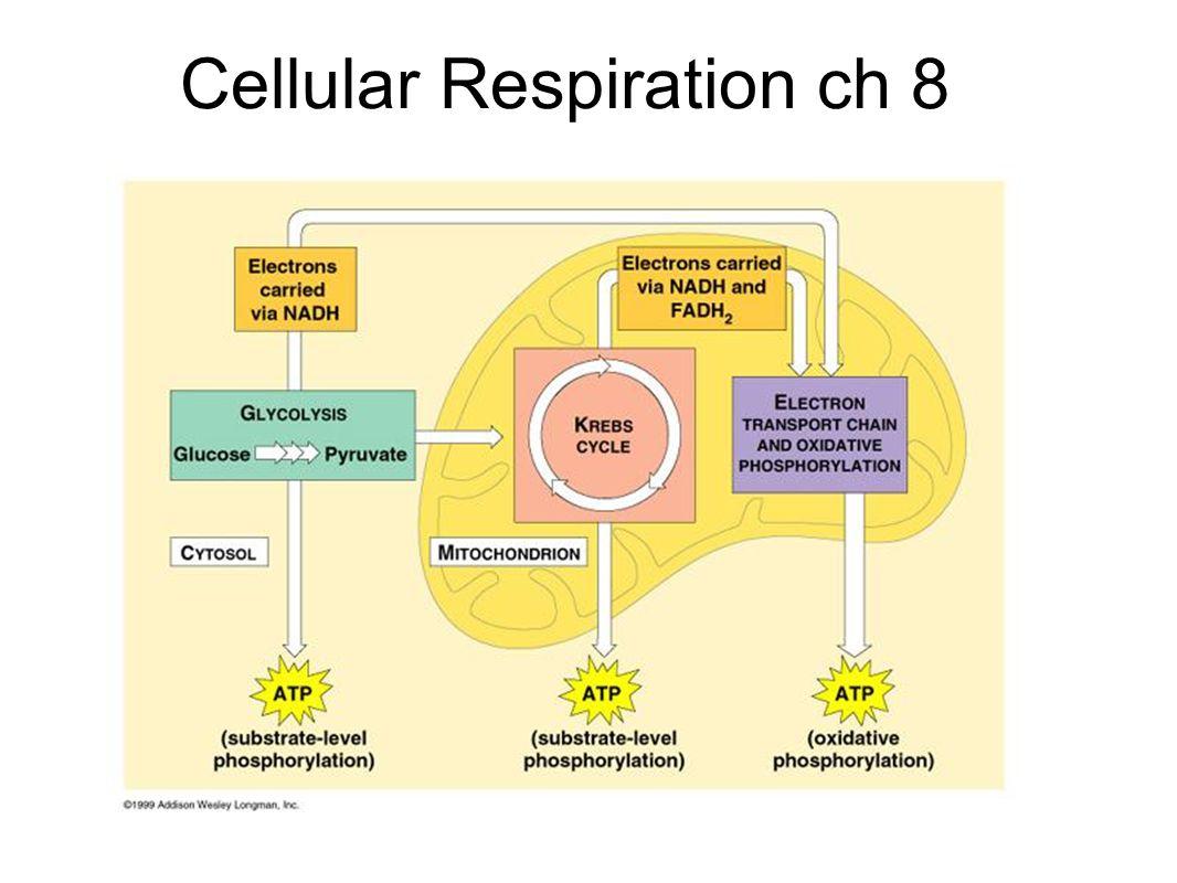 Cellular Respiration Worksheets For High School Cellular